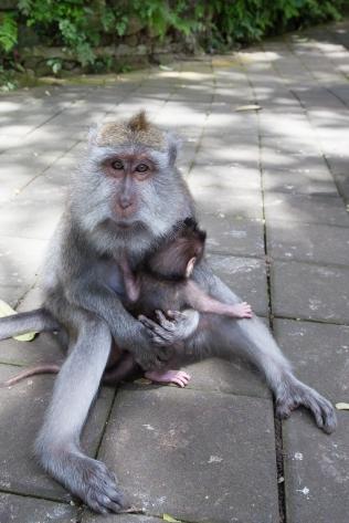 Monkey - Bali